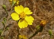 Holocarpha heermannii