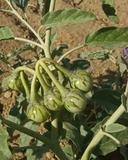 Solanum elaeagnifolium