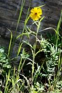 Layia pentachaeta ssp. pentachaeta