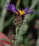 Dieteria canescens var. canescens