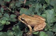 Rana temporaria canigonensis