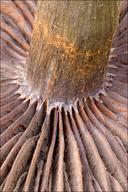 Cortinarius violaceus