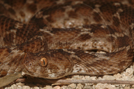 Kenyan Carpet Viper