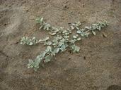 Atriplex leucophylla