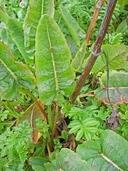 Rumex occidentalis