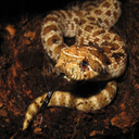 Kennerly's Hog-nosed Snake