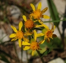 Senecio integerrimus var. major