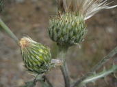 Cirsium cymosum