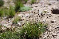 Carex abrupta