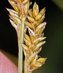 Carex canescens