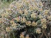Sedum laxum ssp. heckneri
