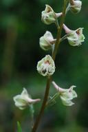 Delphinium californicum ssp. interius