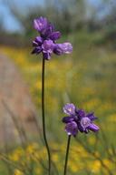 Dichelostemma capitatum ssp. capitatum