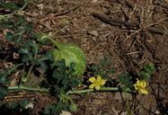 Citrullus lanatus var. citroides