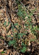 Sanguisorba minor ssp. muricata