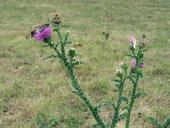 Carduus acanthoides ssp. acanthoides