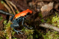 Reticulated Dart Frog