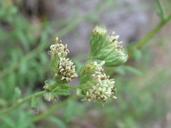 Baccharis plummerae