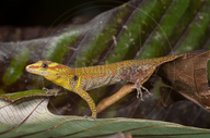 Girdled Forest Gecko