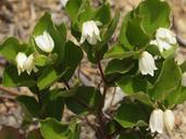 Prosartes parvifolia
