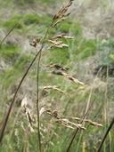 Torreyochloa pallida var. pauciflora