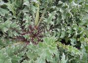 Cirsium fontinale var. fontinale