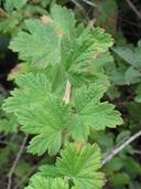 Ribes divaricatum var. pubiflorum
