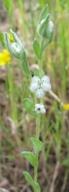 Micropus californicus