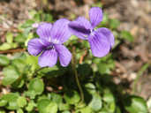 Viola langsdorffii