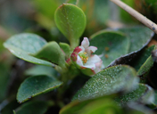 Gaultheria humifusa