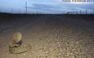 "<strong>Location:</strong> New Mexico, US<br /><strong>Author:</strong> <a href=""http://calphotos.berkeley.edu/cgi/photographer_query?where-name_full=Todd+Pierson&one=T"">Todd Pierson</a>"