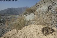 "<strong>Location:</strong> Oman<br /><strong>Author:</strong> <a href=""http://calphotos.berkeley.edu/cgi/photographer_query?where-name_full=Todd+Pierson&one=T"">Todd Pierson</a>"