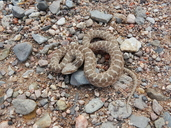 """Adult Chihuahuan Nightsnake<br /><strong>Location:</strong> Indio Mountains Research Station (Hudspeth, Texas, US)<br /><strong>Author:</strong> <a href=""""http://calphotos.berkeley.edu/cgi/photographer_query?where-name_full=Vicente+Mata-Silva&one=T"""">Vicente Mata-Silva</a>"""