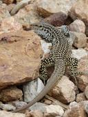 """<strong>Location:</strong> Franklin Mountains (El Paso, Texas, US)<br /><strong>Author:</strong> <a href=""""http://calphotos.berkeley.edu/cgi/photographer_query?where-name_full=Vicente+Mata-Silva&one=T"""">Vicente Mata-Silva</a>"""