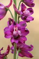 Delphinium hansenii ssp. ewanianum