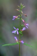 Clarkia heterandra