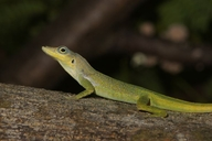 Martinique Anole