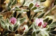 Acmispon rubriflorus