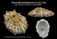 Fissurella barbadensis
