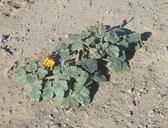 Proboscidea althaeifolia