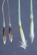 Nassella formicarum