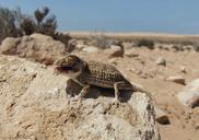"<strong>Location:</strong> North of Tarfaya (Morocco)<br /><strong>Author:</strong> <a href=""http://calphotos.berkeley.edu/cgi/photographer_query?where-name_full=Arie+van+der+Meijden&one=T"">Arie van der Meijden</a>"