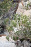 Brickellia longifolia var. multiflora