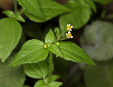 Galinsoga parviflora var. parviflora