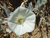 Calystegia malacophylla ssp. pedicellata
