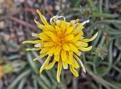 Agoseris glauca var. dasycephala