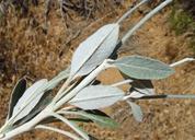 Eriogonum elongatum var. elongatum