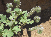 Phacelia cryptantha