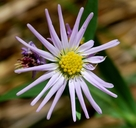 Symphyotrichum greatae