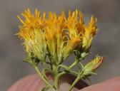 Chrysothamnus greenei